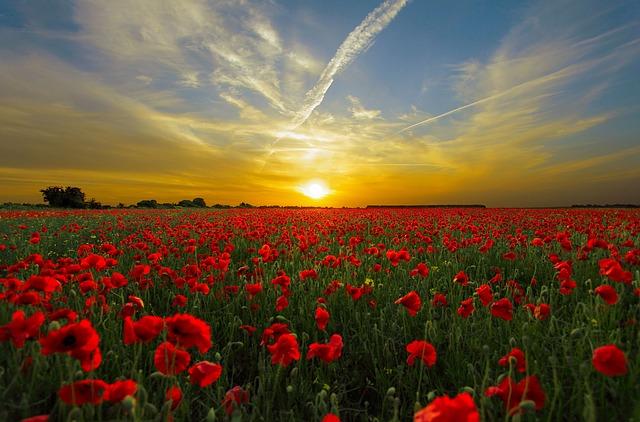 sunset over tulips